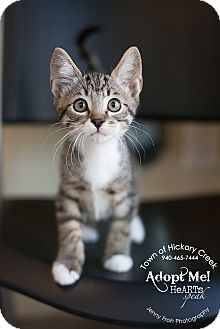 Domestic Shorthair Kitten for adoption in Hickory Creek, Texas - Max