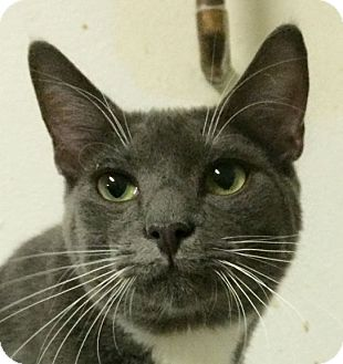 Domestic Shorthair Cat for adoption in Winchester, California - LB