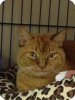 Domestic Shorthair Cat for adoption in Maple Ridge, British Columbia - Seville