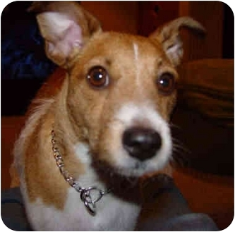 Jack Russell Terrier/Wirehaired Fox Terrier Mix Dog for adoption in Proctorville, Ohio, Ohio - Rudy