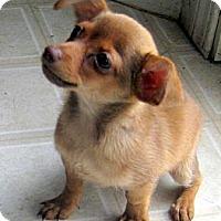 Adopt A Pet :: Teacup Baby Pip - Oakley, CA