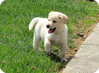 Great Pyrenees Mix Puppy for adoption in Salem, New Hampshire - PUPPY GASTON