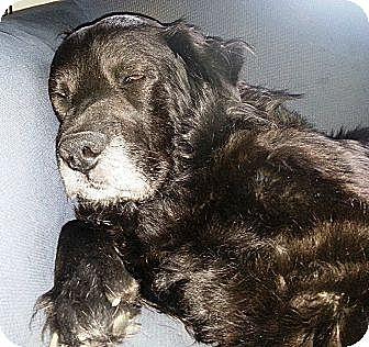 Labrador Retriever/Chow Chow Mix Dog for adoption in Transfer, Pennsylvania - Elijah