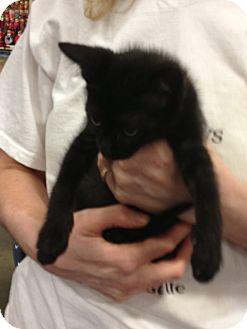Domestic Shorthair Kitten for adoption in Pittstown, New Jersey - Ben