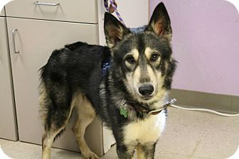 Husky Mix Dog for adoption in Woodlyn, Pennsylvania - General Iron