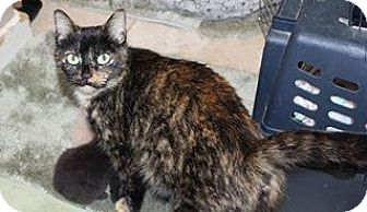 Domestic Shorthair Cat for adoption in Odenville, Alabama - Hoot