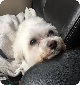 Maltese Dog for adoption in Indianapolis, Indiana - Matty