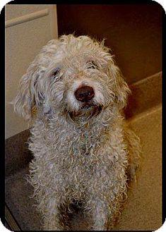 Old English Sheepdog Mix Dog for adoption in DFW, Texas - Rosie