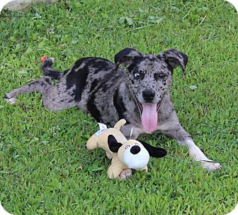 Catahoula Leopard Dog Mix Puppy for adoption in Salem, New Hampshire - Destiny