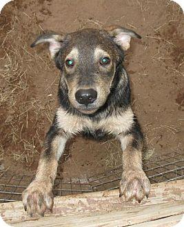 Husky Mix Puppy for adoption in Von Ormy, Texas - Bongo