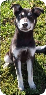 Husky/German Shepherd Dog Mix Puppy for adoption in Aledo, Illinois - Tessa