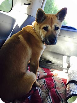 Jindo Mix Puppy for adoption in La Mirada, California - Cola