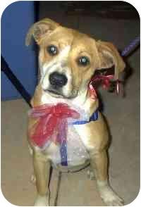 Beagle/Labrador Retriever Mix Puppy for adoption in Encino, California - LILLY/Pending