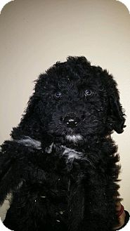 Standard Poodle/Bernese Mountain Dog Mix Puppy for adoption in Treton, Ontario - Micky