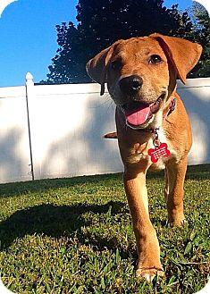 Labrador Retriever Mix Puppy for adoption in Jerseyville, Illinois - Ivy