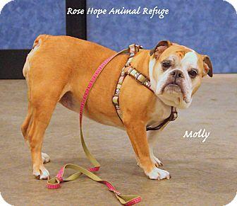 English Bulldog Dog for adoption in Waterbury, Connecticut - Molly