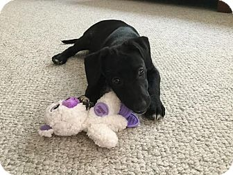 Labrador Retriever/Beagle Mix Puppy for adoption in Huntley, Illinois - Brezie