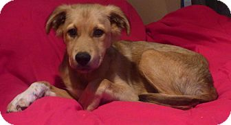 Shepherd (Unknown Type) Mix Puppy for adoption in Providence, Rhode Island - Sheba