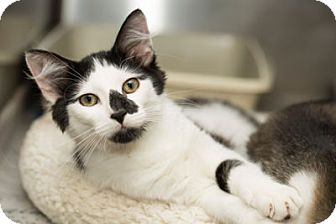 Domestic Shorthair Kitten for adoption in Lombard, Illinois - Sam Winchester
