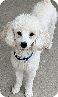 Poodle (Miniature) Dog for adoption in Bay City, Michigan - Beau - PENDING ADOPTION