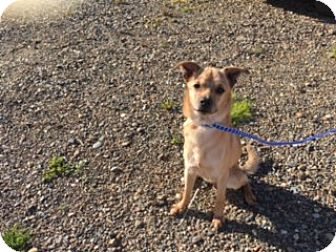 Terrier (Unknown Type, Small) Mix Dog for adoption in Elk Grove, California - BRODIE
