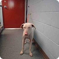 Adopt A Pet :: Blanco - St. Cloud, FL