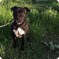 Adopt A Pet :: Storm - Lincoln, CA