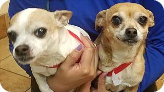 Chihuahua Mix Dog for adoption in Encino, California - Tiki 2