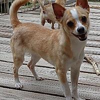 Adopt A Pet :: #43 Hobbit - Festus, MO