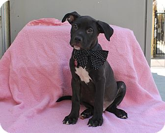Pit Bull Terrier Mix Puppy for adoption in Los Angeles, California - Hubble