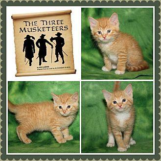 Domestic Shorthair Kitten for adoption in Marietta, Ohio - The Three Musketeers