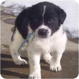 Labrador Retriever/Labrador Retriever Mix Puppy for adoption in Evergreen, Colorado - Drake