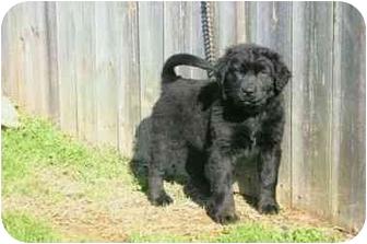 Labrador Retriever/Husky Mix Puppy for adoption in Muldrow, Oklahoma - Clyde
