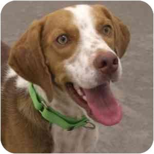 Beagle Dog for adoption in Phoenix, Arizona - Dash