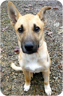 Shepherd (Unknown Type) Mix Puppy for adoption in Metamora, Indiana - McAle