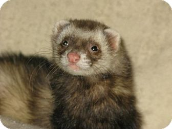 Ferret for adoption in South Hadley, Massachusetts - Teddy