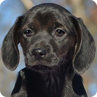 Dachshund/Beagle Mix Puppy for adoption in Staunton, Virginia - Minnie