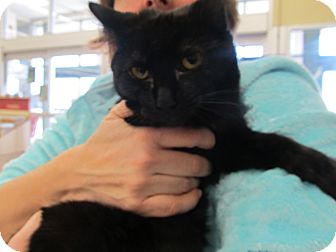 Domestic Shorthair Cat for adoption in Riverhead, New York - Blackberry