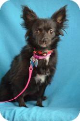 Chihuahua Mix Dog for adoption in Minneapolis, Minnesota - Celia