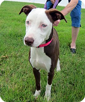 Whippet Mix Puppy for adoption in Richmond, Virginia - Iceess