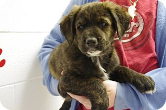 Retriever (Unknown Type)/Labrador Retriever Mix Puppy for adoption in Elyria, Ohio - Bear