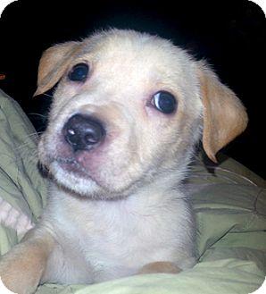 Labrador Retriever/Pit Bull Terrier Mix Puppy for adoption in Cincinnati, Ohio - Tuff
