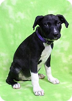 Labrador Retriever/American Pit Bull Terrier Mix Puppy for adoption in Westminster, Colorado - Casabel