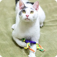 Adopt A Pet :: Olaf - Chicago, IL