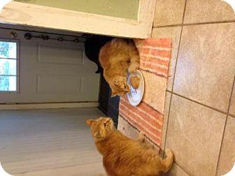 Domestic Longhair Cat for adoption in Grand Rapids, Michigan - William delta