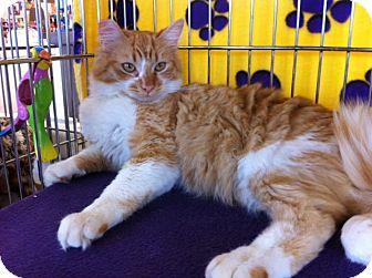 Domestic Mediumhair Cat for adoption in Sacramento, California - Magnum M