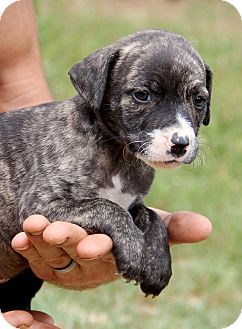 Pit Bull Terrier/Terrier (Unknown Type, Medium) Mix Puppy for adoption in Graniteville, South Carolina - Maggie