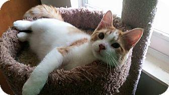 Domestic Shorthair Cat for adoption in Powell, Ohio - Olsen