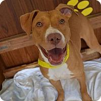 Adopt A Pet :: Nola - Toledo, OH