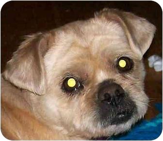 Shih Tzu Dog for adoption in Lexington, Missouri - Pansy Pearl